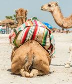 Camel family — Stock Photo