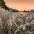 Wheat grain field at sunset — Stock Photo
