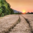 Stock Photo: Wheat grain field at sunset