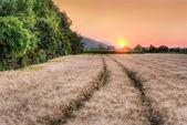 Wheat grain field at sunset — Stock Photo