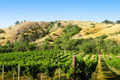 Vineyards under the hill — Stock Photo