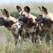 African wild dogs — Stock Photo #40577019