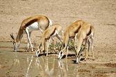 Wilde afrikanische springbock — Stockfoto