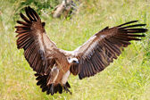 African vulture — Stock Photo