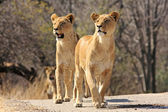 Wild african lions — Stock Photo