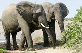 野生のアフリカ象 — ストック写真