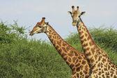 Wild african giraffe, — Stock Photo