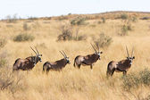 Wild african gemsbok — Stock Photo