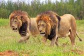 Wild african lion — Stock Photo