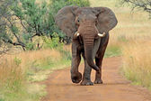 Wild african elephant — Stock Photo