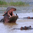 Stock Photo: Wild africhippo