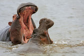 Wild african hippo — Stock Photo