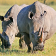 Stock Photo: Wild africrhino