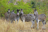 Wild african zebra — Stock Photo