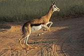 Wild african springbok — Stock Photo