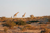 Wild african giraffe — Stock Photo