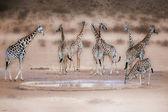 Wild african giraffe — Stock Photo