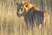 Vilda afrikanska lejon — Stockfoto
