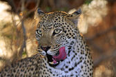 Wild african leopard — Stock Photo