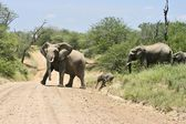 Wild african elephant — Stock Photo