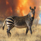 Cape mountain zebra — Stock Photo