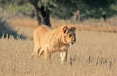 Wild african lion — Stock Photo