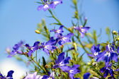 Blue flowers in the garden — Stock Photo