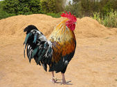 Thailand male chicken rooster isolated — Stock Photo
