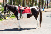 Black and White Saddle horse — Stock Photo