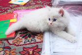 Cat - Tota — Stock Photo