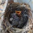 Two nestlings — Stock Photo