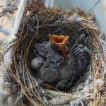 Two nestlings — Stock Photo #36527327