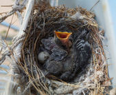Two nestlings — Foto Stock