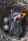 Two nestlings — Stock Photo