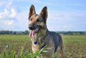German Shepherd on an open field — Stock Photo