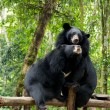Asian black bear — Stock Photo