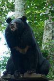 亚洲黑熊 — 图库照片