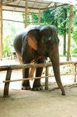 Azjatyckich słoni — Zdjęcie stockowe
