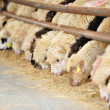 sheep farm — Stock Photo
