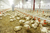 Inside A Poultry Farm — Stock Photo