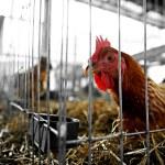 Chicken farm — Stock Photo #38859387