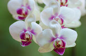 Orquídeas blancas y fucsias. (Phalaenopsis) — Stock Photo
