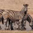 Kruger Park zebras — Stock Photo