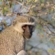 Vervet Monkey in tree in Kruger National Park — Foto Stock