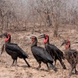 Southern ground hornbill — Stock Photo