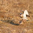 Mating crowned lapwings — Stock Photo