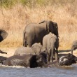 Elephant herd swimming — Stock Photo