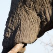 Stock Photo: Elephant face portrait close-up