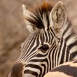 Zebra behind zebra — Stock Photo
