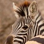 Zebra behind zebra — Stock Photo #34253499